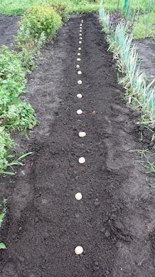 種ジャガイモ「ニシユタカ」の植え付け
