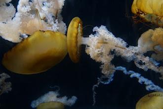 Ubur-Ubur Menyala Dalam Gelap di SEA Marine Aquarium Singapura