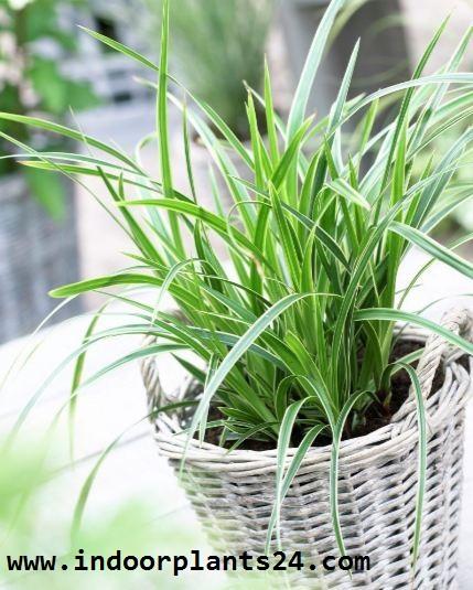 Cyperaceae Japanese Sedge Grass Plant photo