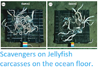 http://sciencythoughts.blogspot.co.uk/2014/11/scavengers-on-jellyfish-carcasses-on.html
