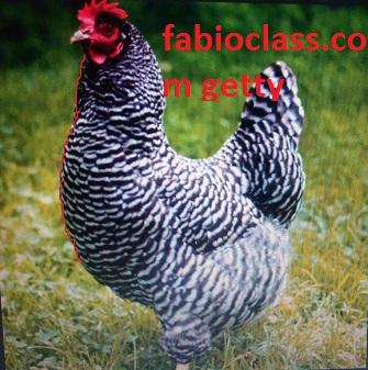 Haco chicken