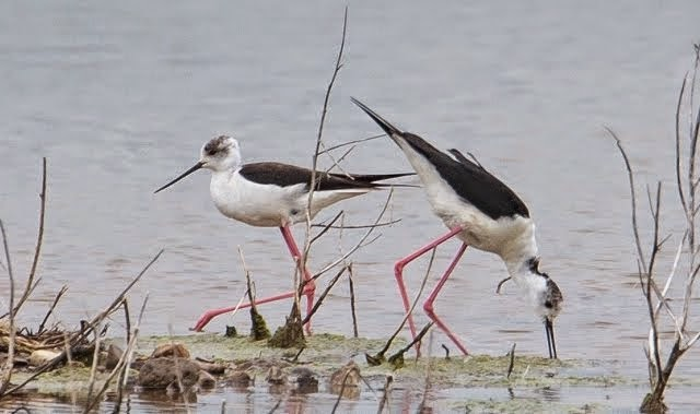 Black-winged Stilts at nest site (Medmerry RSPB)