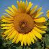 12 super benefícios da semente de girassol para a sua saúde. Veja