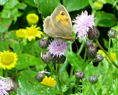 meadow Brown Butterfly landed on wild flowers.