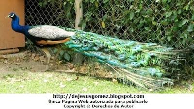 Foto de un pavo real tímido del Parque de las Leyendas por Jesus Gómez