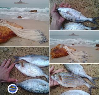 "رفراف : سمكة ""الشلبة""(saupe):تعددت حولها الحكايات واصبحت وكانها سمك اسطوري."