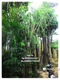 Tukang Taman penjual tanaman hias menjual pohon liang liu atau pohon janda merana dengan harga paling murah