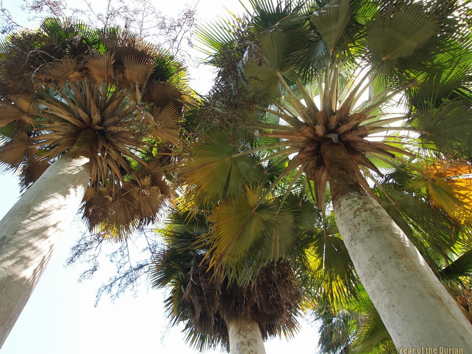 Durian Growing in Florida -