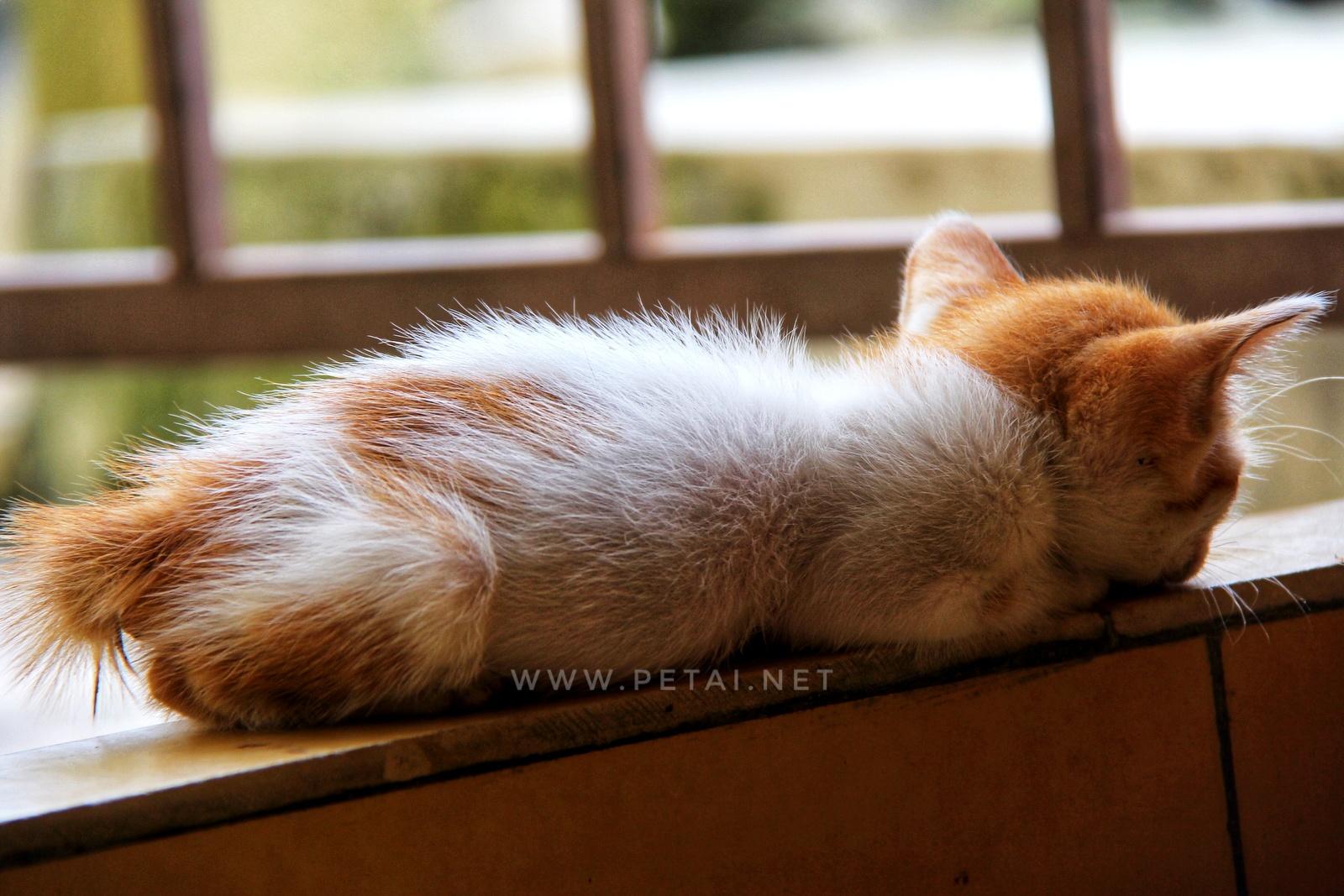 Mengenang Kucing Kesayangan Kami Opet 1