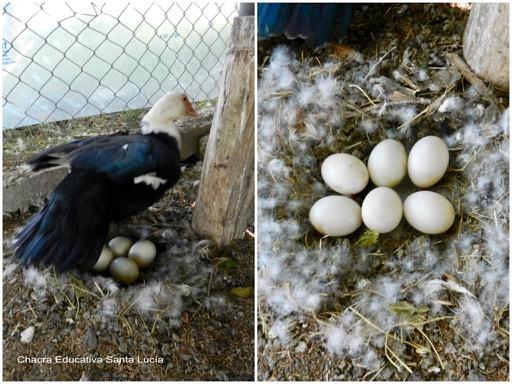 Nido de pato en el gallinero - Chacra Educativa Santa Lucía