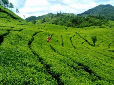 Pemandangan hijau kebun teh wonosari