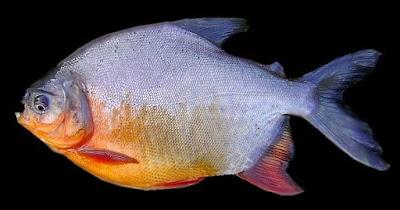 Umpan Kilo Gebrus Ikan Bawal
