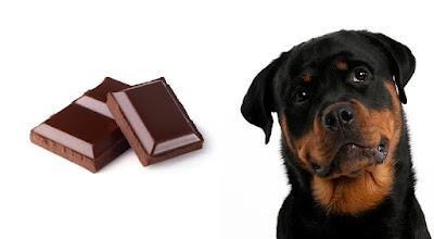 Rottweiler Chocolate