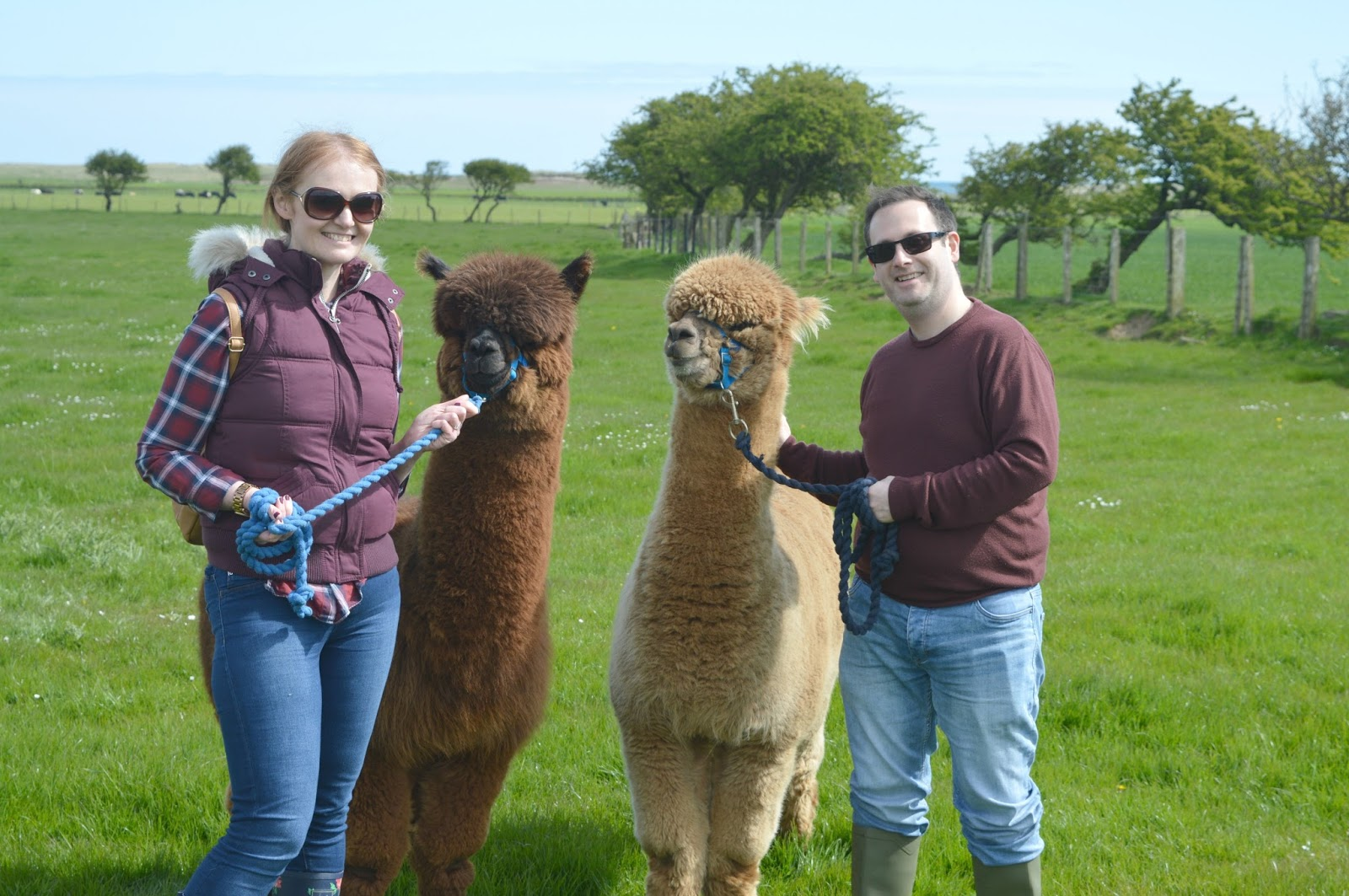 The North East Christmas Present Guide - Alpaca Walking