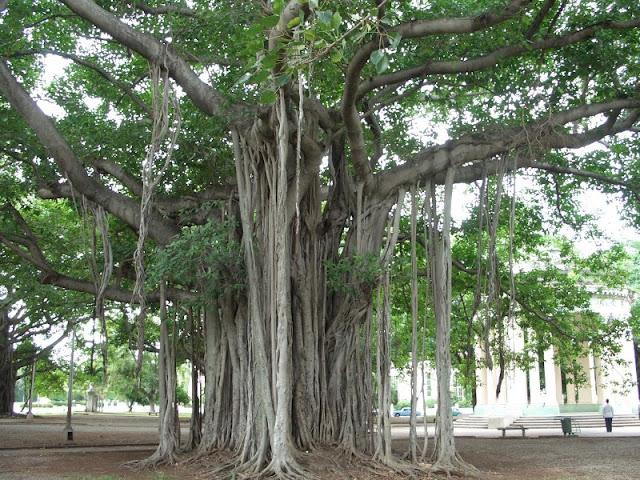 """Radici """"stampella"""" Ficus"""