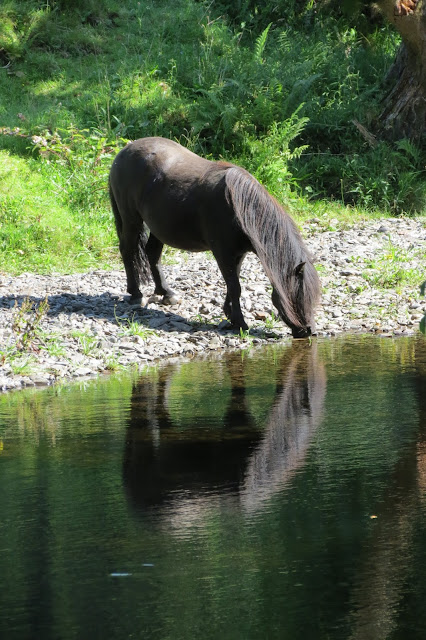 A pony drinking from and reflected in the river.