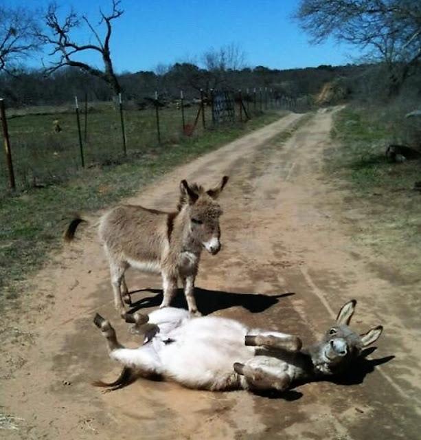 Os burros mais fofos que você já viu