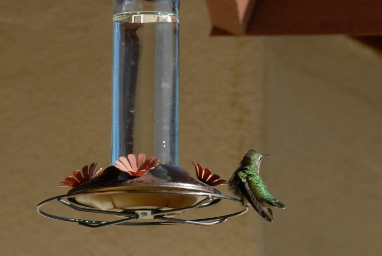 Anna Hummingbird rests by the bird feeder