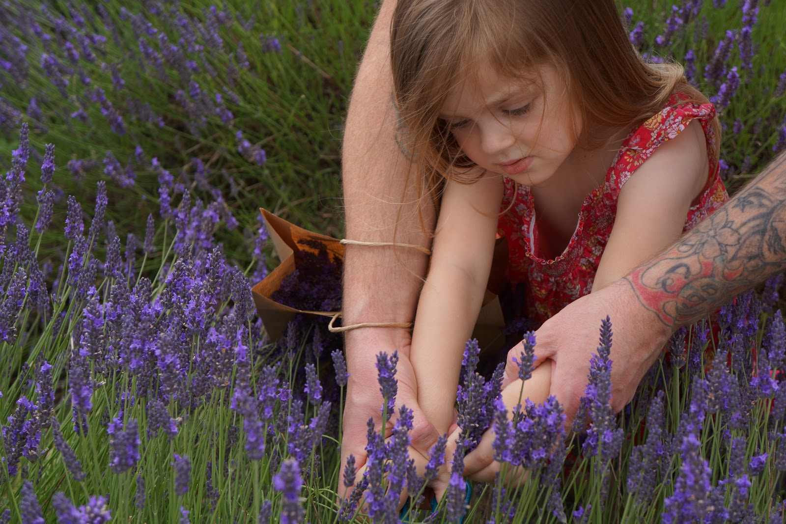 little girl cutting lavender