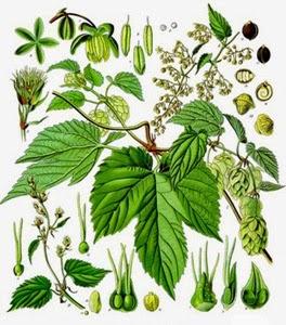 Hameiul planta medicinala