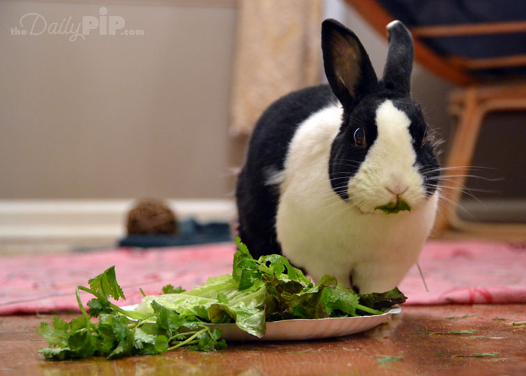 Rabbits should have access to fresh hay all day and two salads