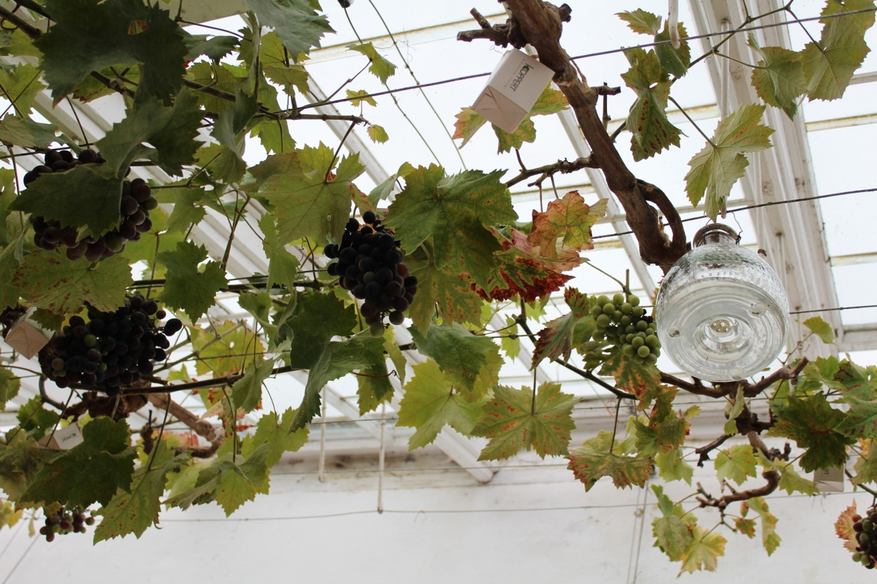 Greenhouse grape vines