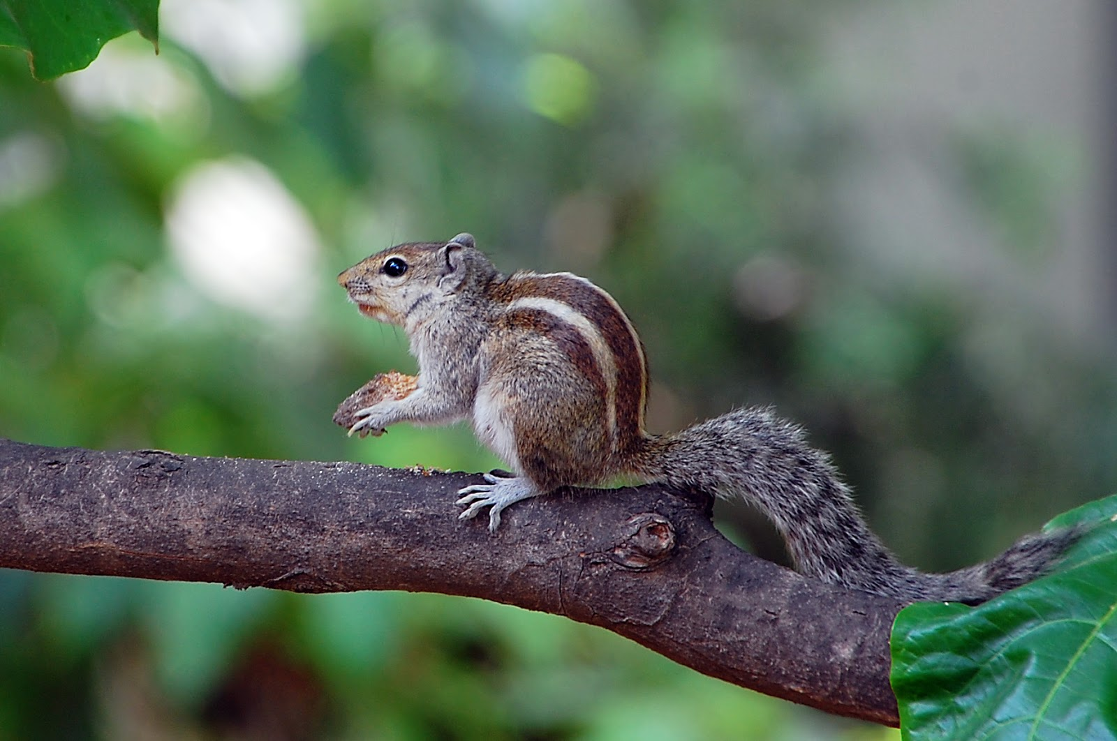 Indian_Squirrel Ultra HD Desktop Background Wallpaper for ... |Indian Squirrel Wallpaper