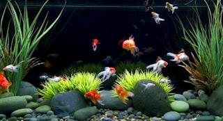 Budidaya Ikan Mas Koki merupakan solusi  Kabar Terbaru- CARA BUDIDAYA IKAN MAS KOKI DI AQUARIUM UNTUK PEMULA