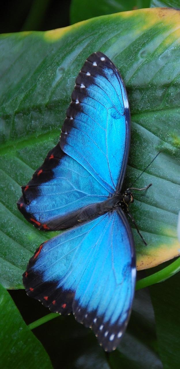 Beautiful blue morpho  butterfly.