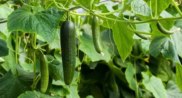 Picture of Cucumber fruit hanging in a vine