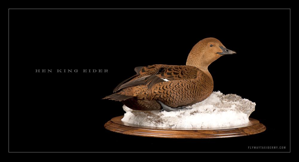 Alaskan King Eider Gui...