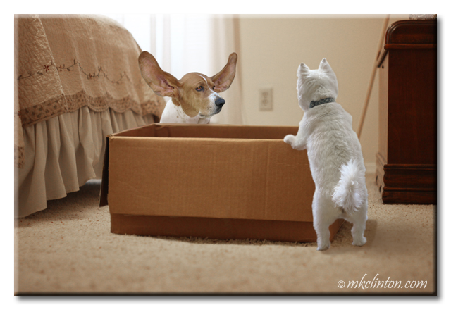 Basset hound and Westie looking in box