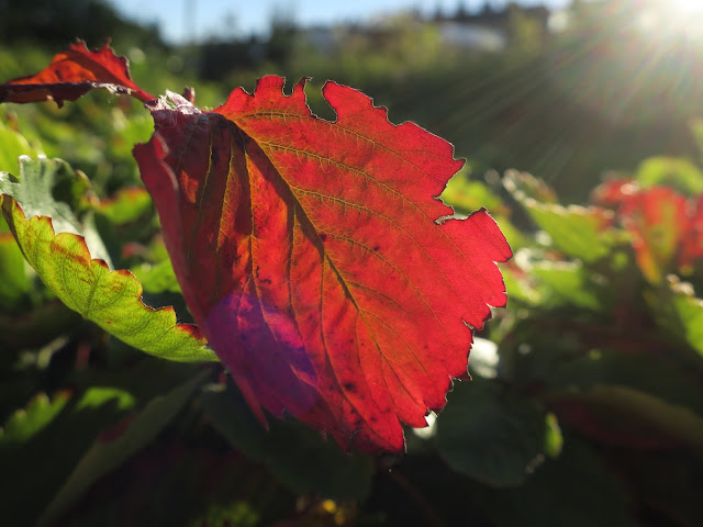 Strawberry leaf turned red by autumn. 9th October 2018
