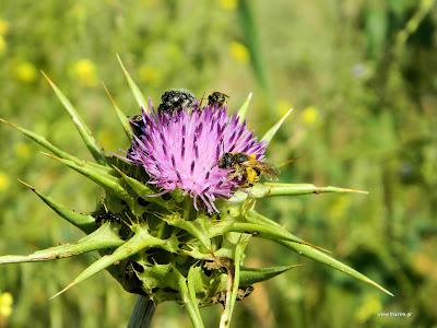 Γαϊδουράγκαθο: σπορά φύτεμα καλλιέργεια