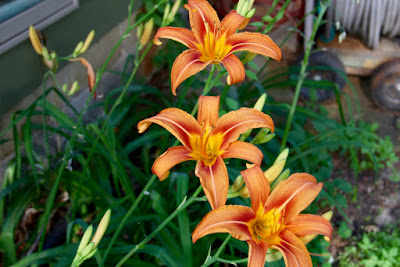Day lilies, June blooms