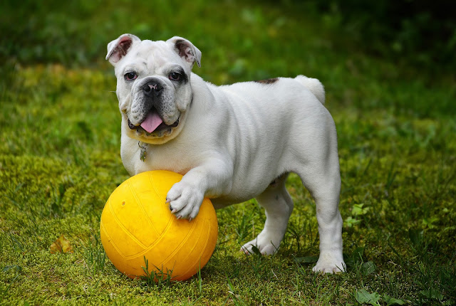 How to Take Care for Bulldogs - RictasBlog