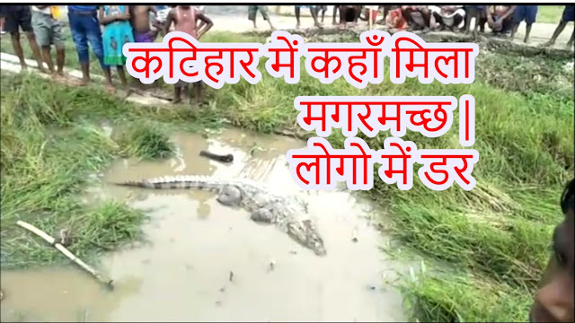 crocodile in katihar