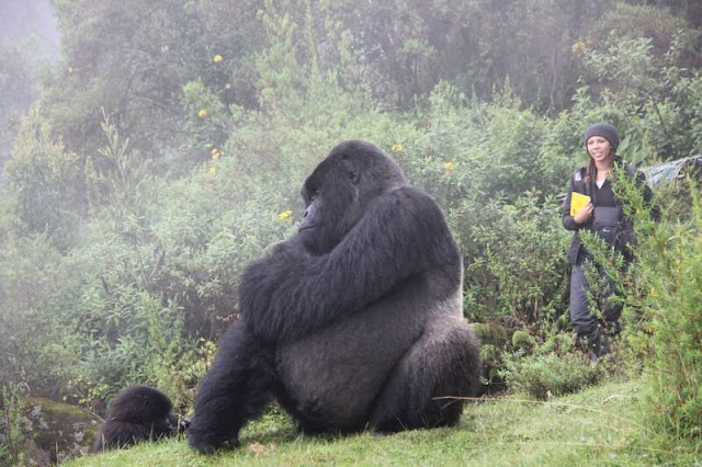 Research helps understand group relationships in gorillas