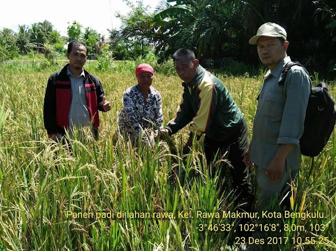 Sempat Diguyur Hujan, Petani di Kota Bengkulu Tetap Panen Padi