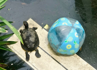 Jalan Jalan (88): Turtle in the murky water with a ball and trash