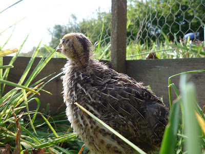 Strategy for free-ranging organic quail chicks