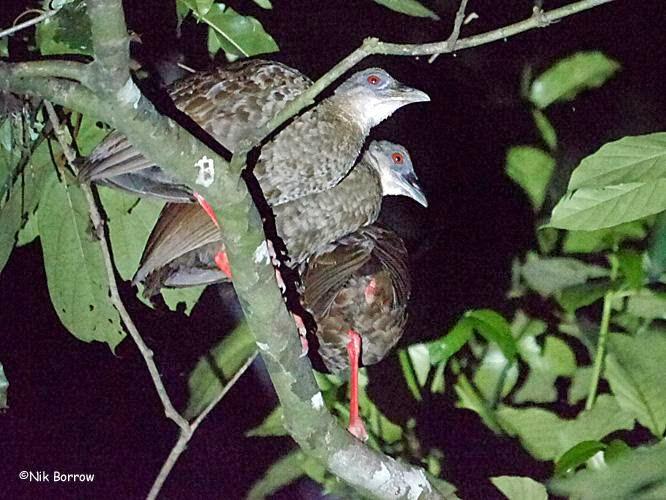 rascon nkulenga Himantornis haematopus