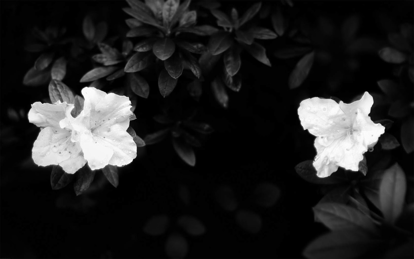 Black and White Wallpapers: White Flowers On Black ...