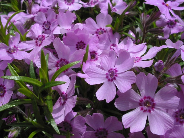 Late spring flowers for pollinators parkway lawn prairie phlox phlox pilosa a great butterfly plant preferring full sun mightylinksfo