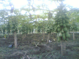 Easy Guide to Papaya Cultivation is Good and Right