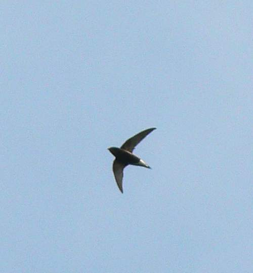Indian birds - Picture of Brown-backed needletail - Hirundapus giganteus