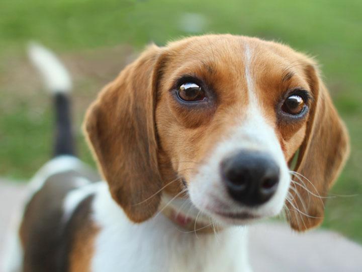 Tinkerbella - Beagle
