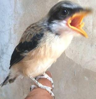 Burung Cendet - Penyebab, Gejalan dan Cara Menangani Burung Cendet yang Terkena Sakit Sinusitis - Penangkaran Burung Cendet