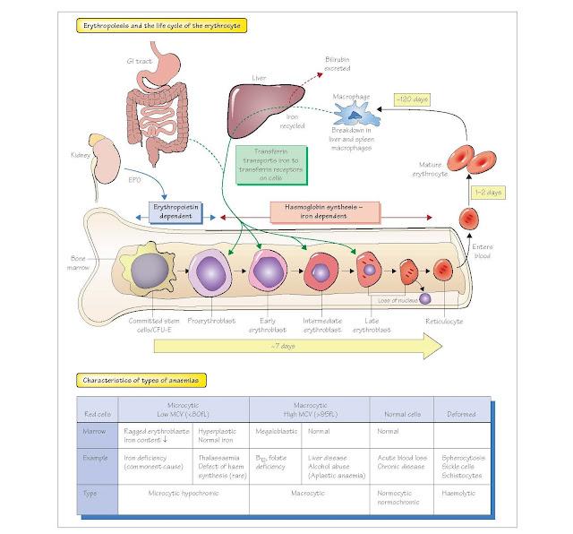 Erythropoiesis, Haemoglobin And Anaemia