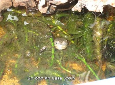 Kinosternon hirtipes juvenil entre las plantas